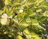 Erythrina indica picta [variegata orientalis]