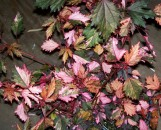 Hibiscus eetveldianus Haight Ashbury [Hippy Paisley]