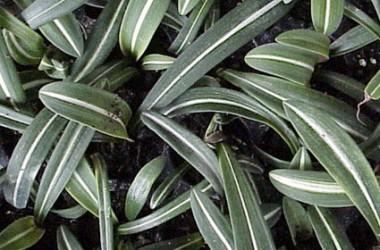 Hippeastrum reticulatum striatifolium