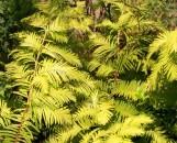 Metasequoia glyptostroboides ogon