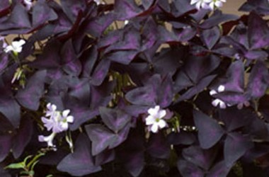 Oxalis Collection (5 plants)