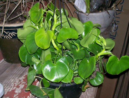 Philodendron Grazielae Glasshouse Works