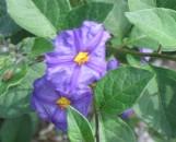 Solanum [ Lycianthes] rantonnetii