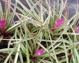 Tillandsia cyanea albo-marginata
