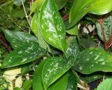 Aglaonema Tricolor Echo