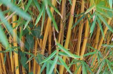 Bambusa glaucescens Alphonse Karr [hyb]