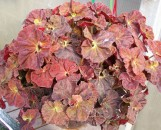 Begonia Angel Blush