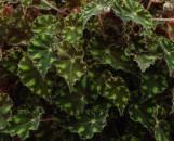 Begonia Tiger Cub [hyb]