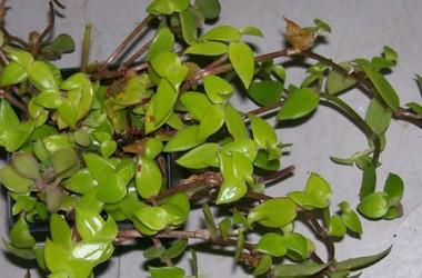 Callisia cordifolia Itsy Bitsy Inch Plant [Sp]