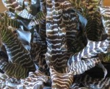 Cryptanthus Black Mystic [hyb]