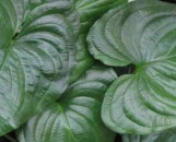 Cyanastrum cordifolium compactum