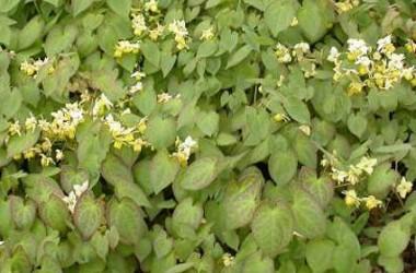 Epimedium versicolor neo sulphureum [hyb]