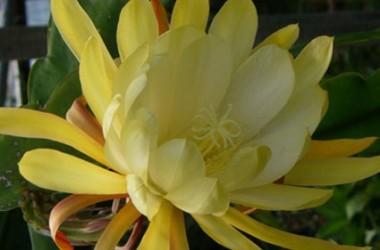 Epiphyllum Clarence Wright [hyb]