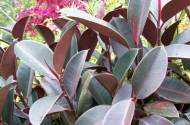 Ficus elastica Burgundy