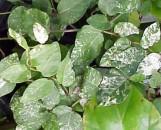 Ficus pumila [repens] variegata