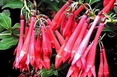 Fuchsia triphylla Gartenmeister Bohnstedt