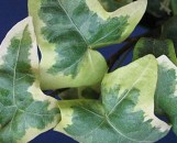 Hedera helix Guilded Hawke