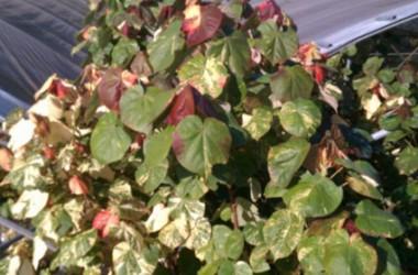 Hibiscus tiliaceus tricolor