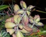 Kalanchoe fedtschenkoi variegata