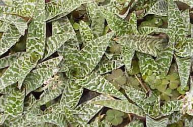 Ledebouria violacea