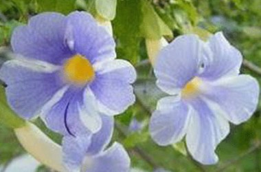 Thunbergia erecta Fairy Moon
