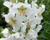 Verbascum phoeniceum album