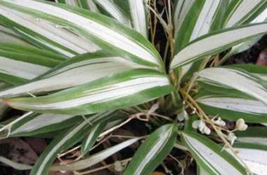 Chlorophytum bichetii Charlotte