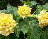 Datura metel Double Golden Queen [chlorantha]
