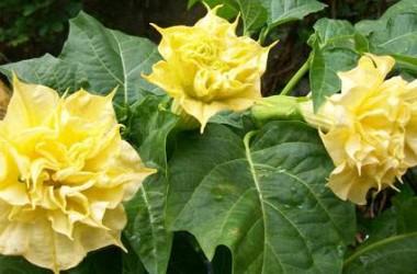 Datura metel Double Golden Queen [chlorantha]