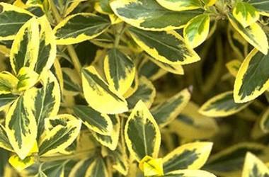 Euonymus fortunei variegata [hort]