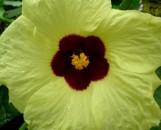 Hibiscus lunarifolia [hort.]