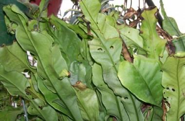 Microsorium longissisimum [hort]
