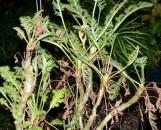 Pelargonium dasyphyllum [dasycaule]