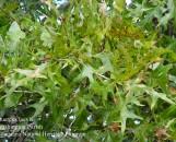 Quercus robur cristata