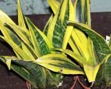 Sansevieria trifasciata Futura Gold Flame