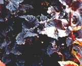 Coleus Othello