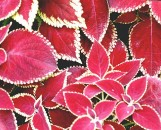 Coleus Red Coat