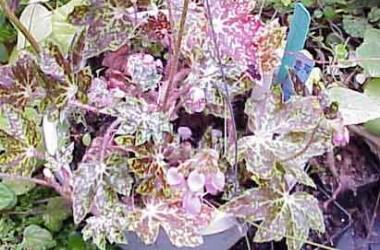 Begonia Hocking Shockwave [hyb]