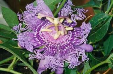 Passiflora Incense [hyb]