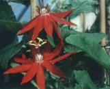 Passiflora vitifolia