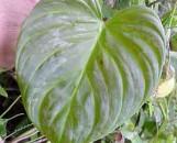 Philodendron andreanum X sodoroi [hyb]