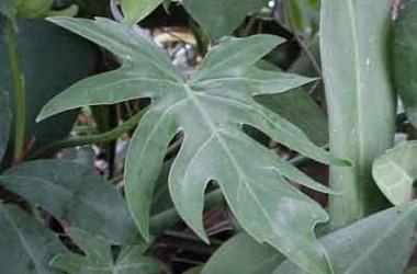 Philodendron elegans [dubium] [radium]
