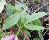 Philodendron fenzlii