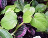 Philodendron hederaceum [hoffmannii]