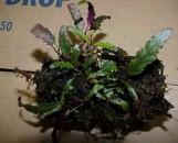 Pseuderanthemum sinuatum [hemigraphis repanda]