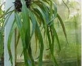 Pyrrosia longifolia angustifolia [hort.]