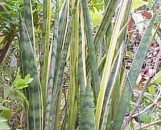 Sansevieria trifasciata goldiana Slipped Stripes