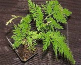 Selaginella Brazil [Species]