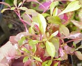 Alternanthera ficoidea rosea nana