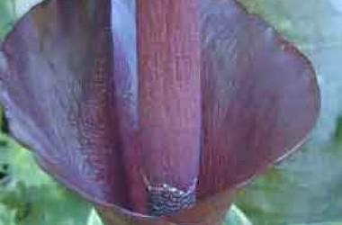 Amorphophallus Konjac [rivieri]